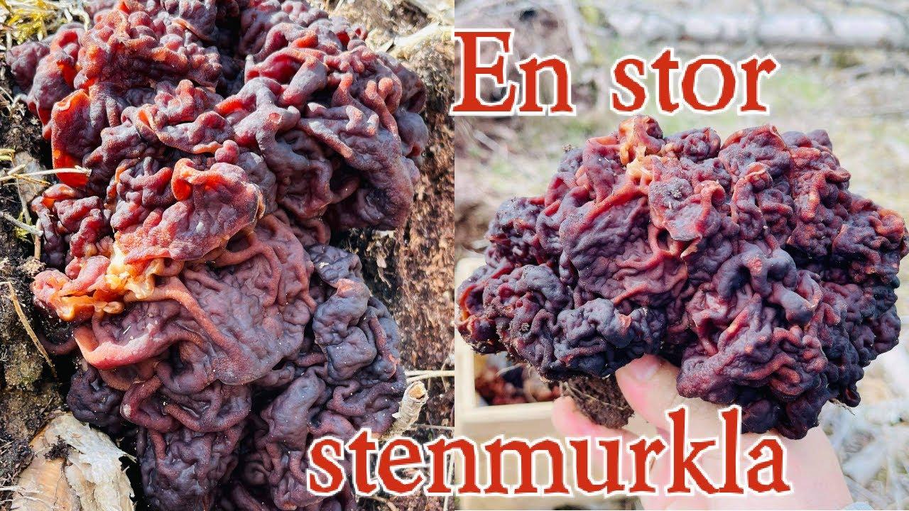 En stor Stenmurkla / svamp / One big stenmurkla mushroom /2021 /Mushroom in sweden