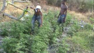 ganja high grade on the hill orange hill jamaica 2010 mpg