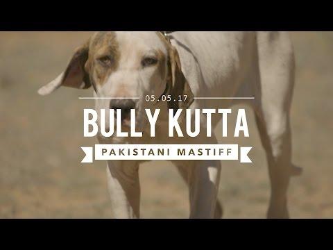 BULLY KUTTA THE INDIAN AND PAKISTAN MASTIFF