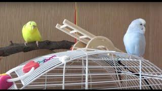 Новый обзор клетки моих попугаев. Деревянные жердочки!!!
