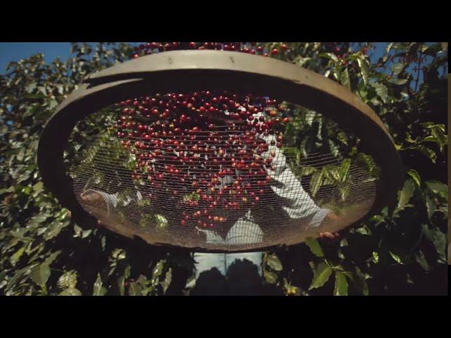 Conheça o café mais valioso do mundo, o Geisha | Coffee ++