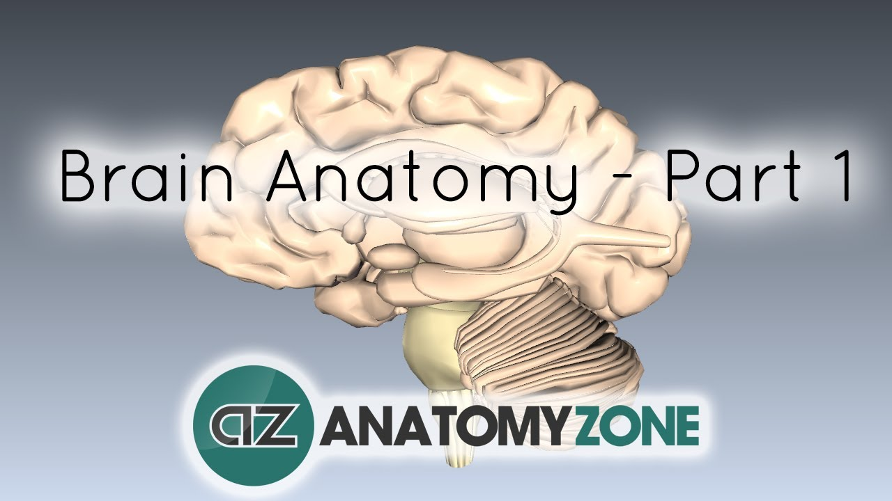 Basic Parts of the Brain - Part 1 - 3D Anatomy Tutorial - YouTube