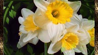 Распускающиеся цветы (♪♫ Eleni Karaindrou-To Vals Tou Gamou) HD(видео