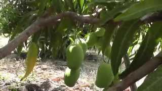 Kesar mango plantation in the Dominican Republic ( 2015 Update )