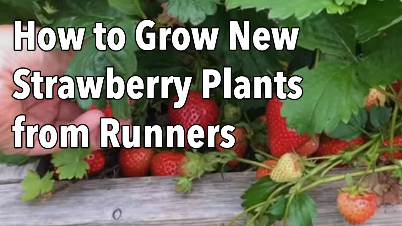 Grow New Strawberry Plants From Runners