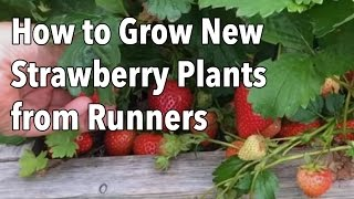 Growing Strawberries: How to Grow New Strawberry Plants from Runners