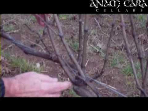 Oregon Wine Growing Pinot Noir in the Vineyard