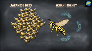 Asian Giant Hornets Vs Japanese Honey Bees | TOP 5 Facts Video