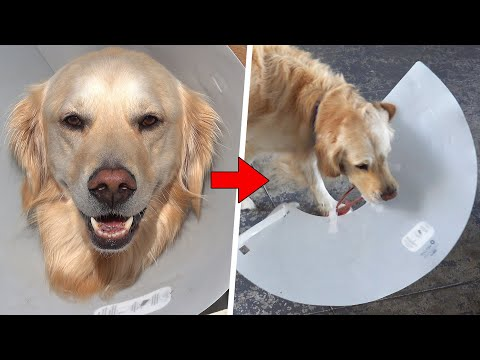 DOG REACTS: Cone of Shame Removal *DESTRUCTIVE*