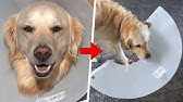 DOG REACTS: Cone of Shame Removal *DESTRUCTIVE*
