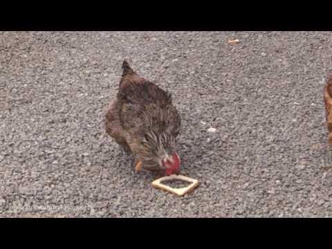 stupid chicken