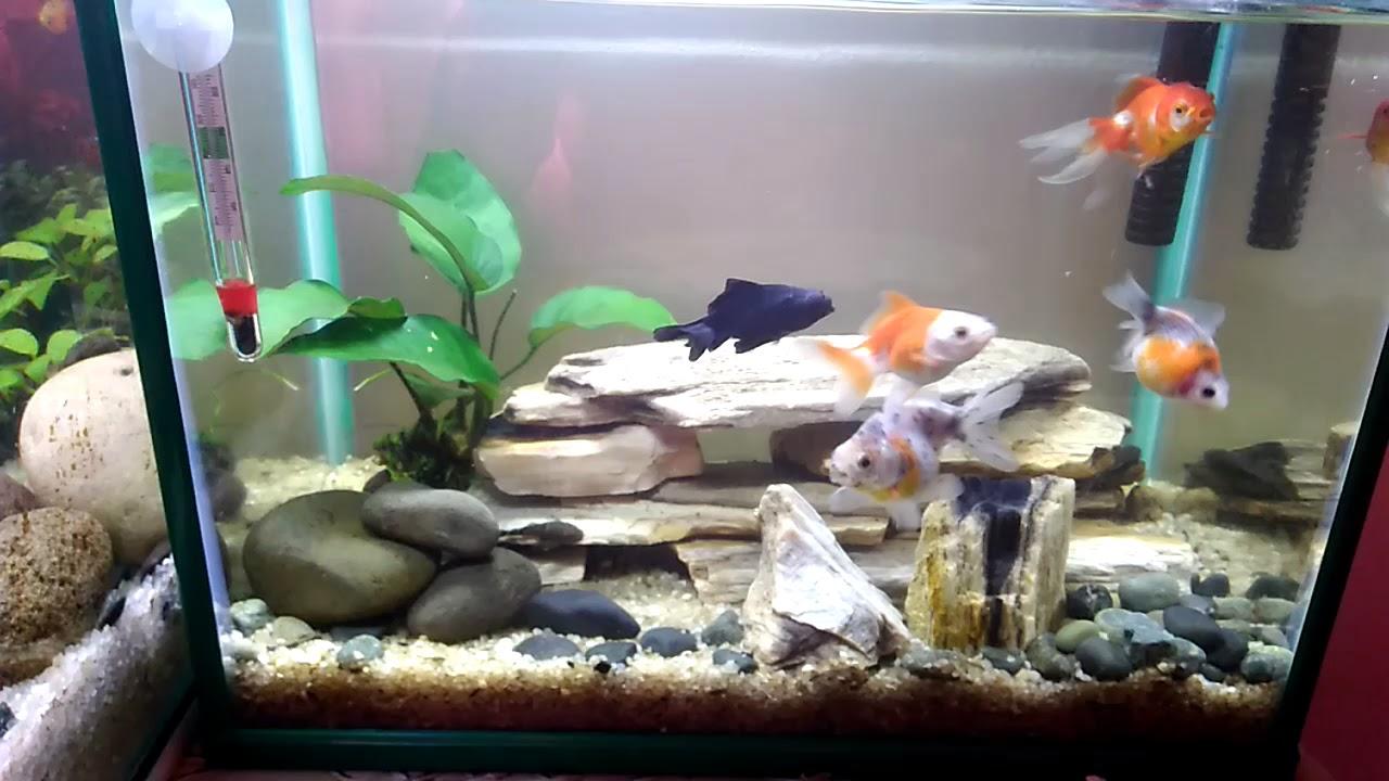 aquarium 19 liter mas koki 5 galon goldfish tank ryukin oranda rh youtube com