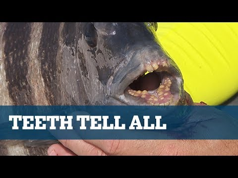 Florida Sport Fishing TV - Sheepshead Pro'sTip