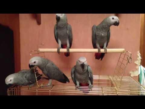 Жако попугай, фото, содержание, серый жако