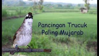 Top Hits -  Trucuk Manapun Bakal Langsung Respon Gacor