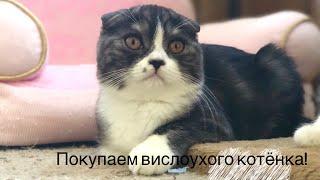 Покупаем вислоухого котёнка! Как правильно ВЫБРАТЬ шотландского котёнка (Scottish FOLD)? 🧐