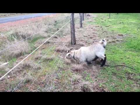 Electric Fence V''s Goat