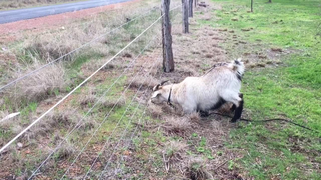 Electric fence V\'\'s goat - YouTube