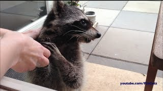 Fred the Friendly Raccoon - Part 4