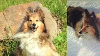 Шелти.Собака породы-Шетландская овчарка