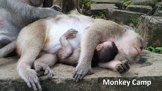Baby monkey and mom sleep very well, Real life of baby monkey in Angkor, Monkey Camp part 703