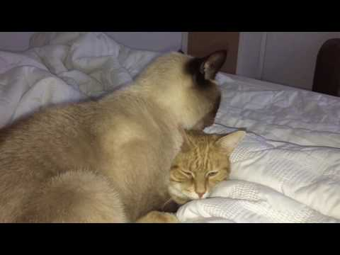 Max Luvs Mya! My Simese Cat Cleaning My Orange Tabby :)