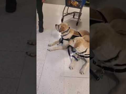 Training Service Dogs | Aspen Service Dogs