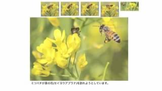 アブラナを例に、花の構造と仕組みを解説します。文章が多いため少し長...