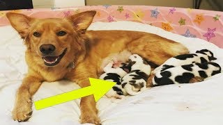 Foster Family Is Stunned When Pregnant Mama Gives Birth To 4 Baby 'Cows'