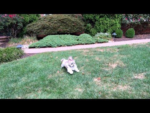 Lacey is having outside zoomies | Cute Shih Tzu dog | 4K