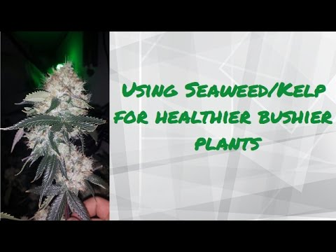 Using Seaweed/Kelp As An All Natural PGR To Control Your Flower Stretch
