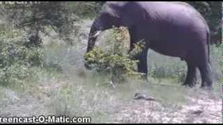 Słonie afrykanskie
