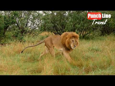 Кения. Львы. Секс в саванне! Африка, дикая природа. Сафари. Путешествия