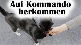 Katzen das zuverlässig auf Kommando herkommen beibringen