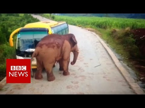 Wild elephant attacks a bus – BBC News