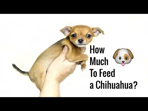 How Much To Feed Chihuahua How To Feed Chihuahua