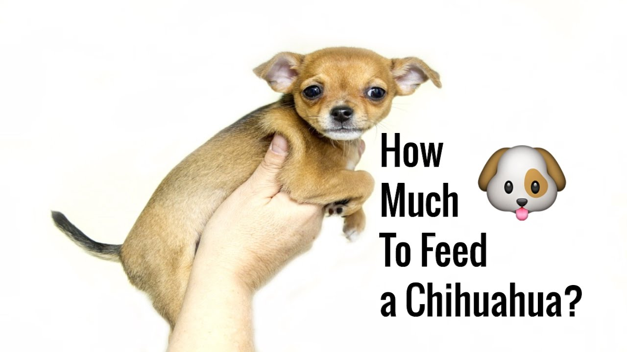 How Much To Feed A Chihuahua How To Feed Chihuahua Free Mini