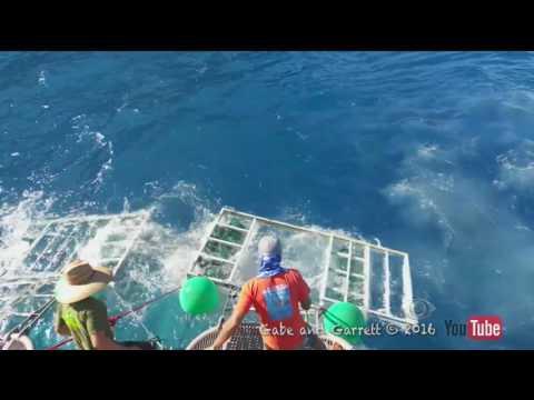 Tubarão consegue entrar em gaiola de mergulhadores no México