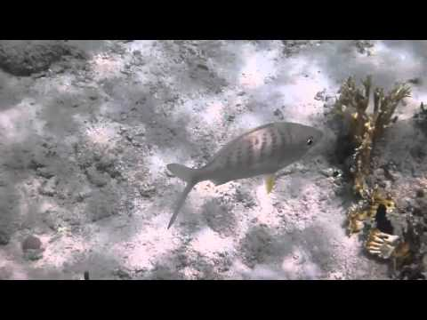 Fish- US and British Virgin Islands, CC BY-SA credit Kira Hammond