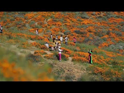 Jason Hurst - Poppy Apocalypse!  A California Town Is Overwhelmed Flower Lovers