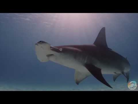 Hammertime: Dive into the World of the Great Hammerhead Shark