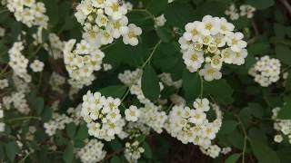 Цветы Невесты - Спирея Spiraea