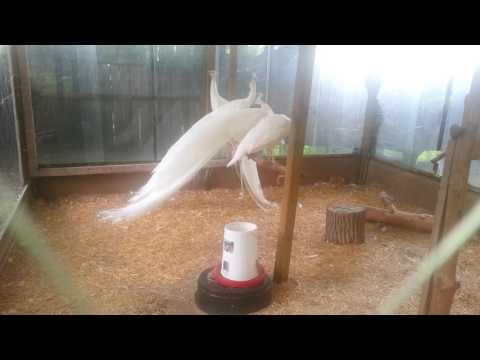 crie du paon blanc