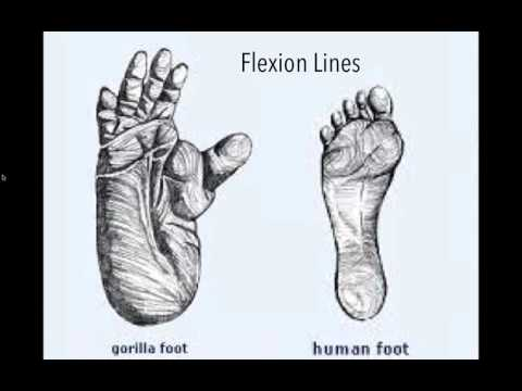 From Primal to Bipedal   The Shaping of the Human Foot with