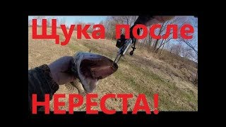 Как поймать щуку после нереста