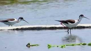野鳥:セイタカシギ (3)/Wild Birds: Black-winged Stilt (3)