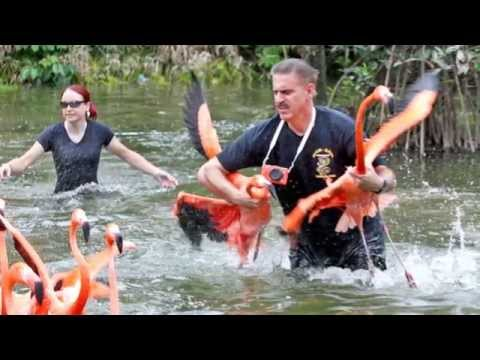 Zoo Miami's flamingo roundup