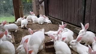 Hodowla królików/nowe wykoty i wybieg