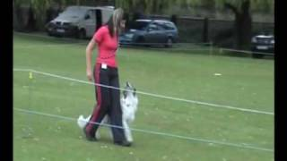 Dog Obedience - Novice. Roo The Border Collie Pup Competing At 7 Months