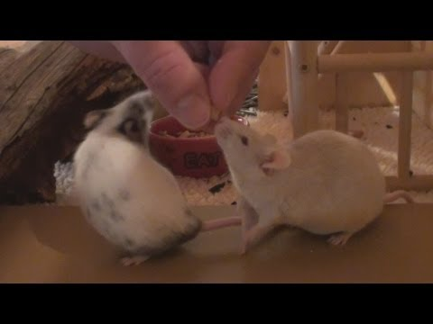 How to Tame Pet Mice